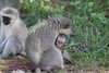 Vervet monkey and baby being hugged?