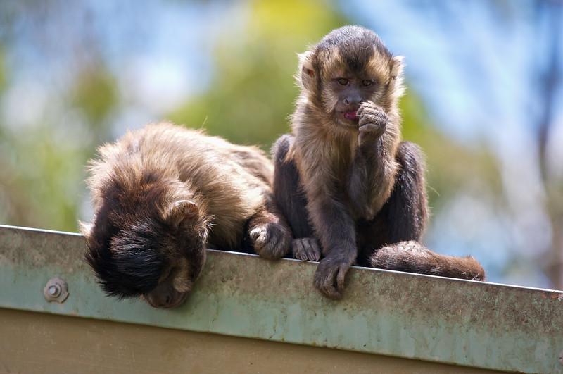 Monkeys - Canberra Zoo - 2009-2012