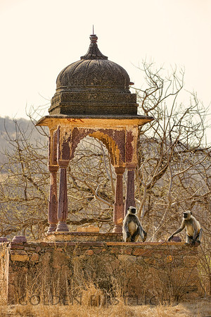 Gray Langur Monkey, Ranthambhore National Park, India