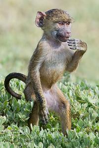 Young Olive Baboon, Kenya