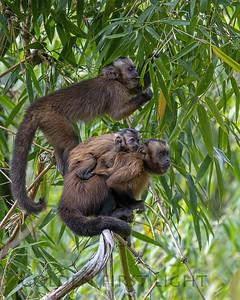Brown Capuchin Monkey, Peru