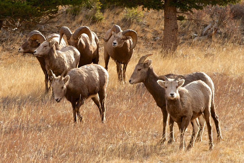 Big Horn Sheep 009