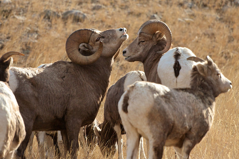 Big Horn Sheep 013