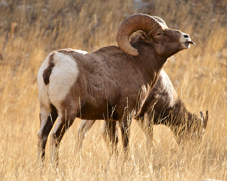 Big Horn Sheep 012