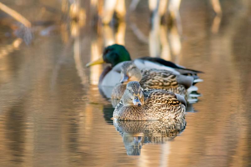 ducks smugmug (1 of 2)