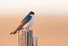 tree swallow smugmug (1 of 1)