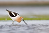 smugmug avocet (1 of 1)