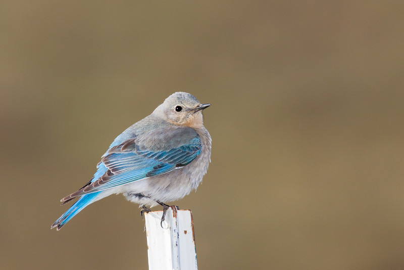 bluebird smugmug (12 of 21)