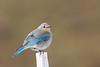 bluebird smugmug (12 of 21)