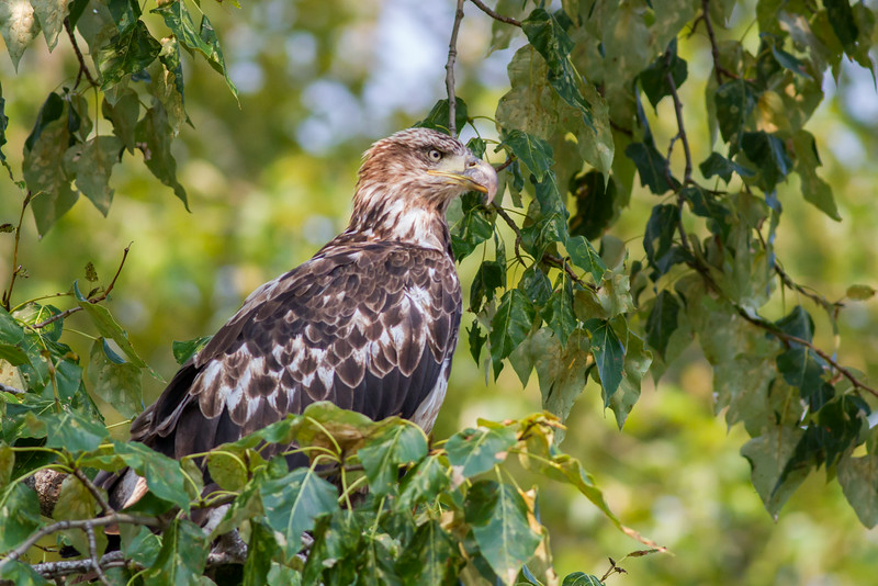 eagle smugmug-4