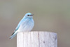 bluebird smugmug (13 of 21)