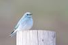 bluebird smugmug (13 of 21)