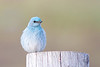 bluebird smugmug (2 of 21)