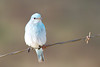 bluebird smugmug (9 of 21)