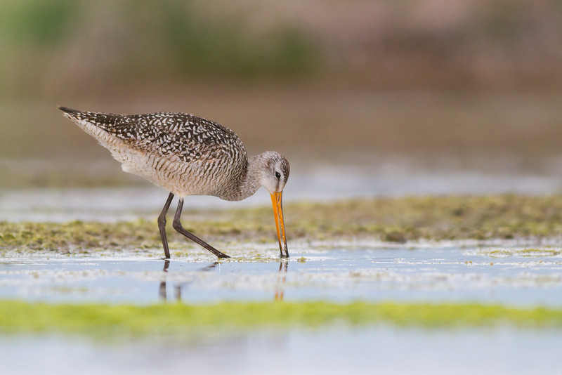 marbled godwit (1 of 1)