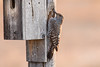 northern flicker smugmug (1 of 1)