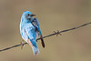bluebird smugmug (18 of 21)