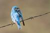 bluebird smugmug (18 of 21)