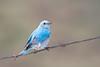 bluebird smugmug (11 of 21)