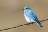 bluebird smugmug (10 of 21)