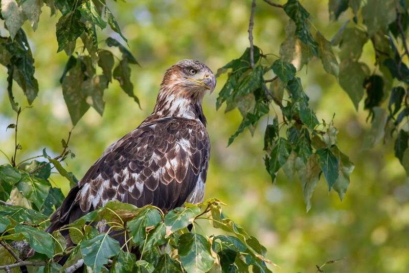 eagle smugmug-3