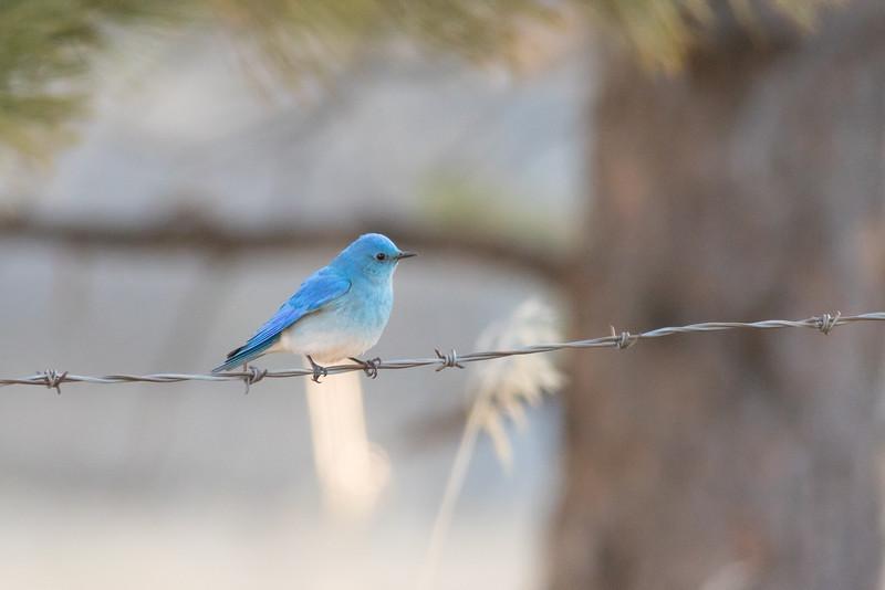 bluebird male  (3 of 3)