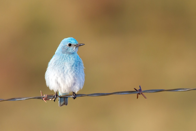 bluebird smugmug (5 of 21)