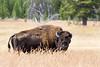 buffalo (1 of 1)-3
