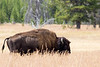 buffalo  (1 of 1)