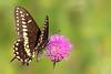 butterfly smugmug