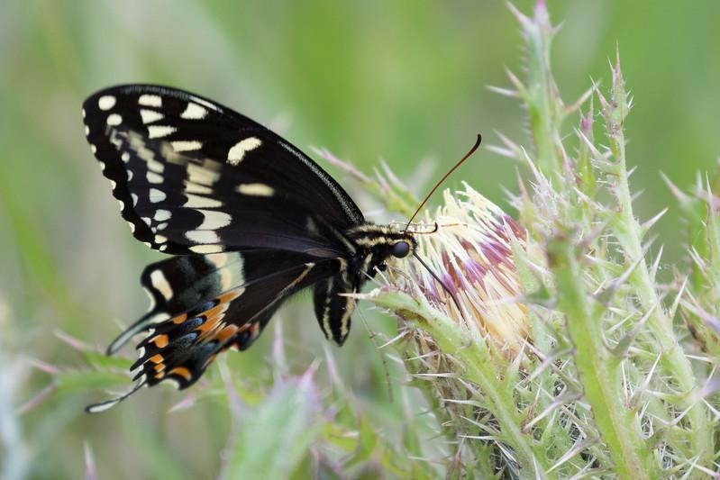 Smugmug Butterflies-3