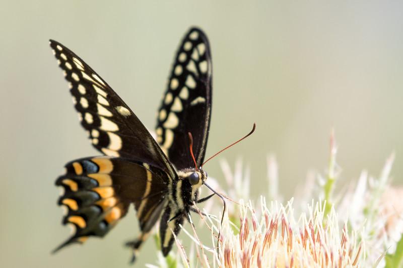 Smugmug Butterflies-2