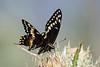 Smugmug Butterflies