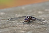 Smugmug Dragonfly