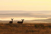 Two Mule deer at sunrise.