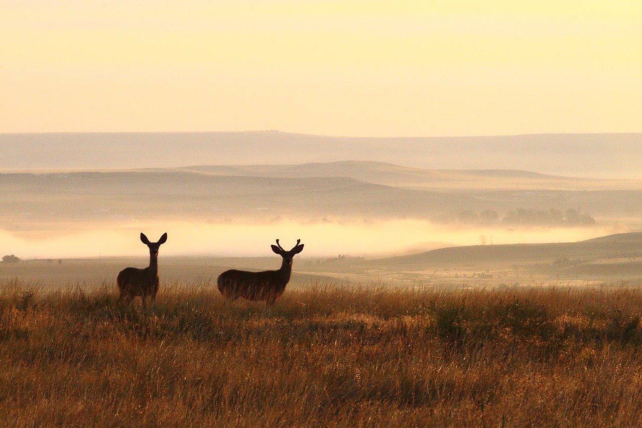 Two Mule deer at sunrise.