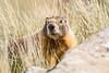 smugmug marmot (1 of 1)