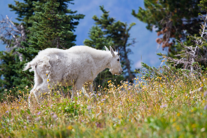Mountain Goat at Glacier National Park