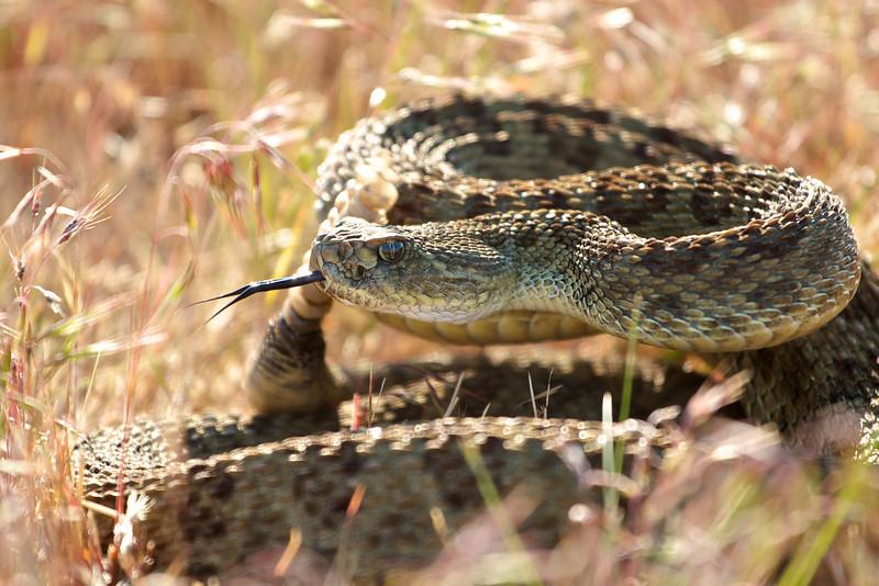rattlesnakes 008