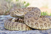 rattlesnake smugmug (2 of 12)