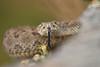 Rattlesnake 17