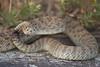 Rattlesnake 9