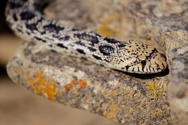 rattlesnake 2 048