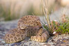 rattlesnake smugmug (5 of 12)
