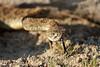 rattlesnakes 005