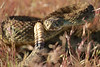 rattlesnakes 007