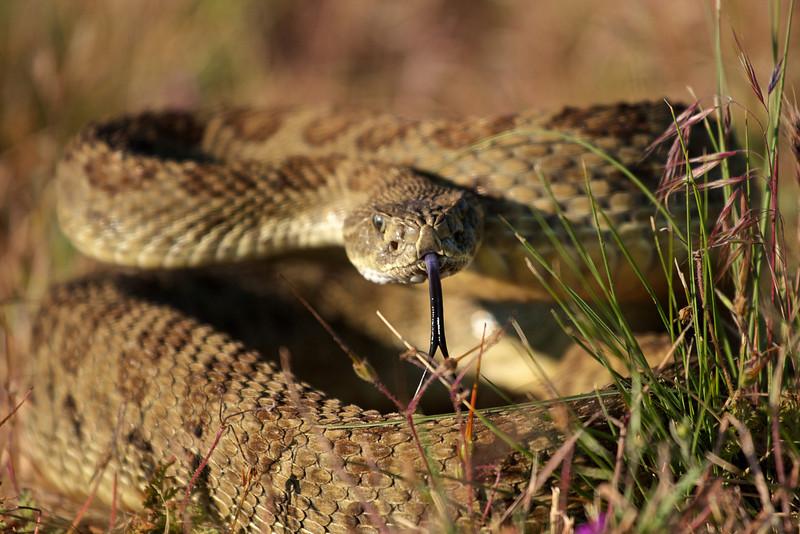 rattlesnakes 004