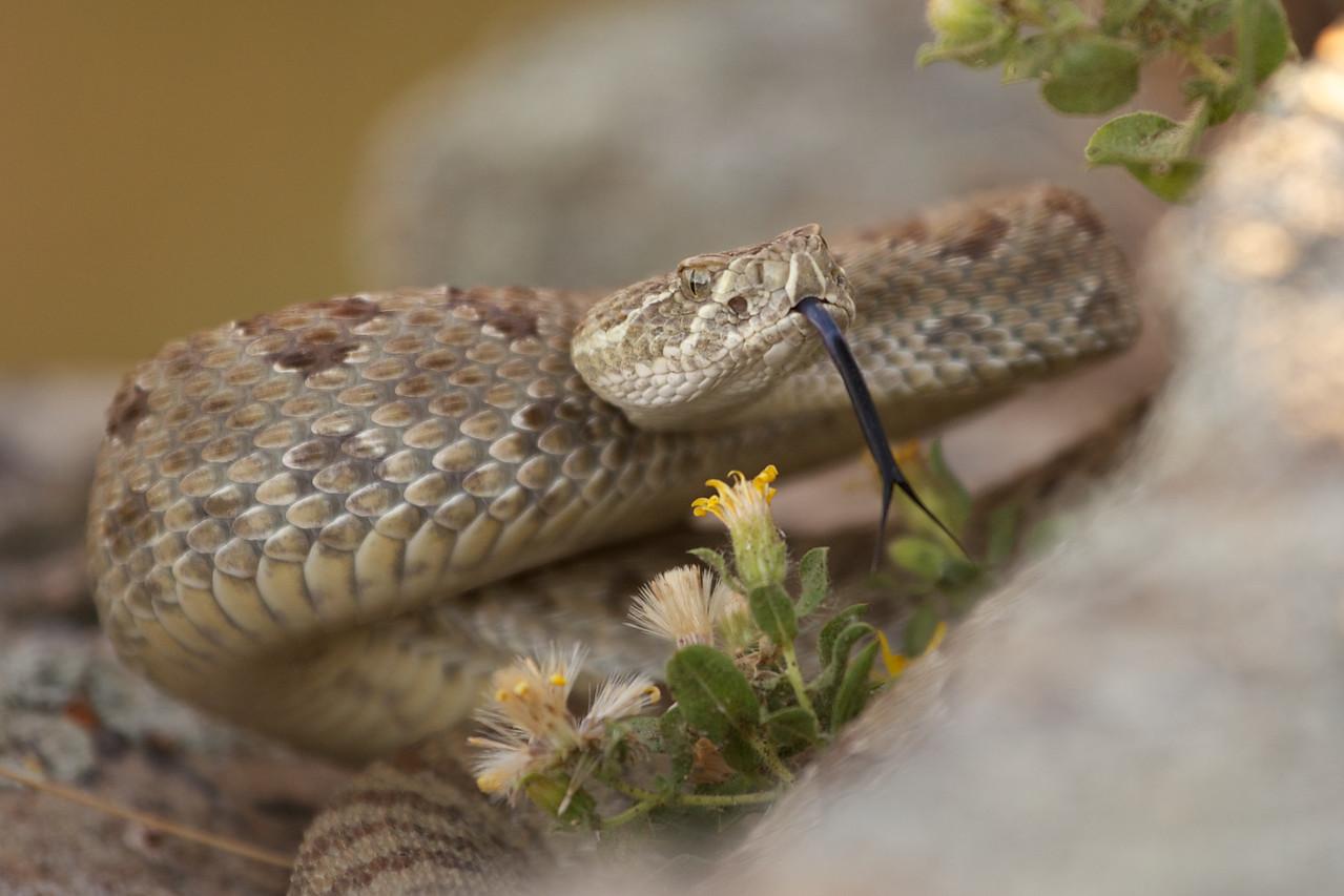 Rattlesnake 23