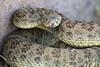 rattlesnakes 006