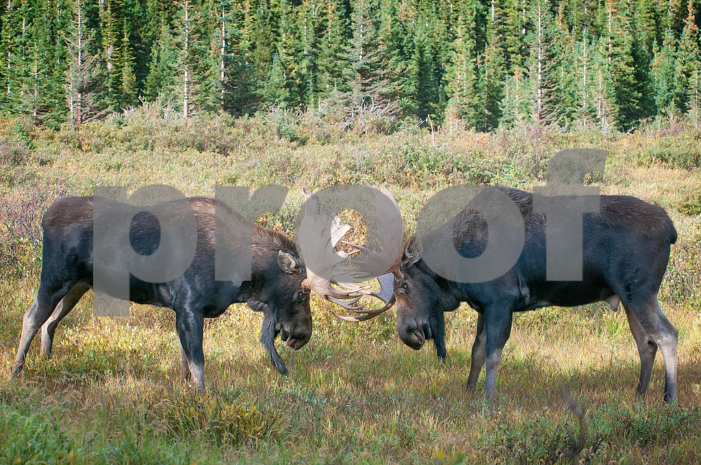 BRAINARD_LAKE_MOOSE-8361